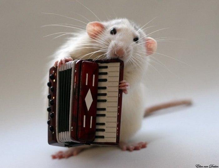 смешные крысы фото 5 (700x538, 43Kb)