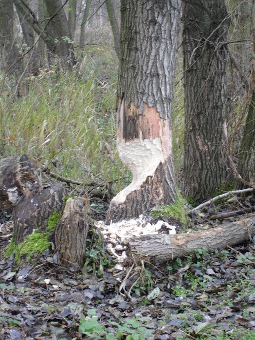 природный парк Дюбенская пустошь -и бобры. 26957