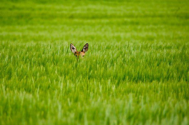 Застенчивый олененок на полях близ города Клотена, Швейцария (604x402, 36Kb)