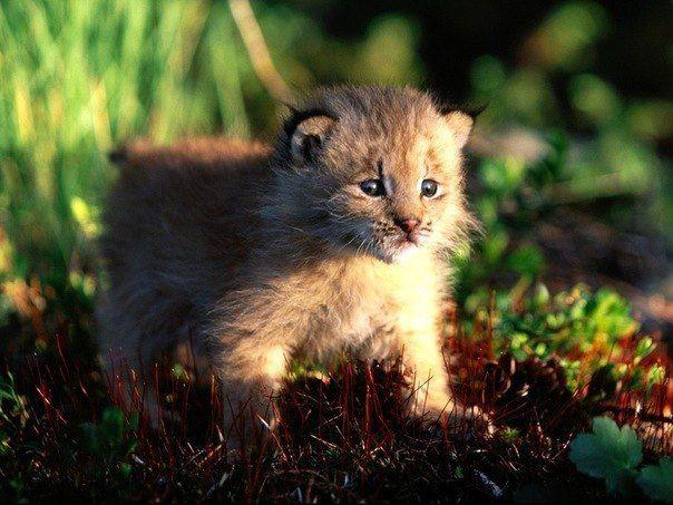 Котёнок рыси, Канада (604x453, 55Kb)