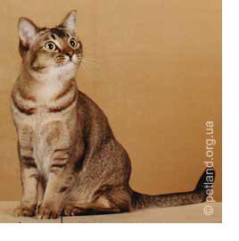 породы кошек. азиатская тиккинг-табби.