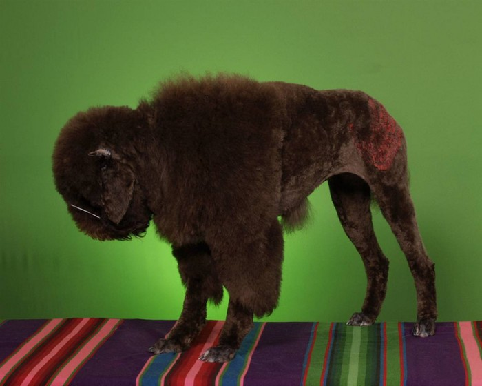 1333183048_barm_poodle_grooming_01ss_full-990x792 (700x560, 60Kb)