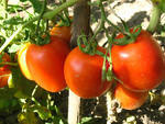 tomat (150x113, 8Kb)