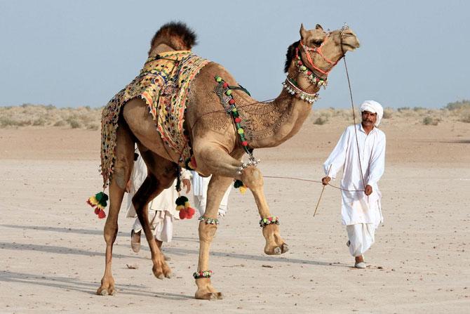 фото верблюд (670x447, 68Kb)
