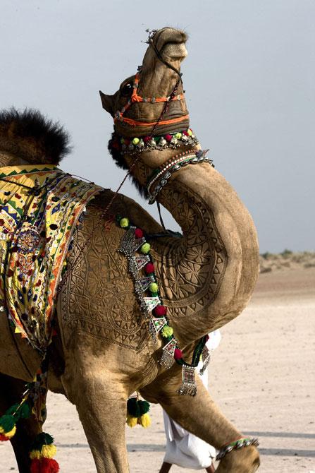 фото верблюд 8 (447x670, 81Kb)