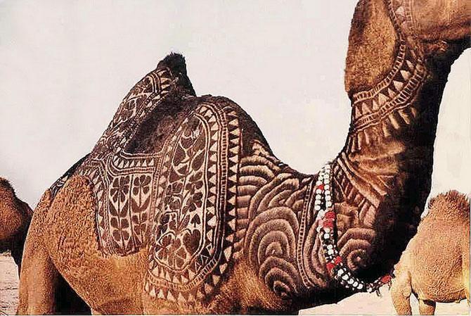 фото верблюд 10 (670x449, 108Kb)