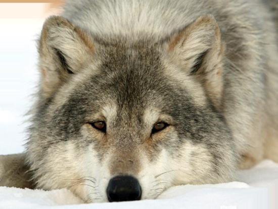 3996605_Wolf2 (550x413, 435Kb)