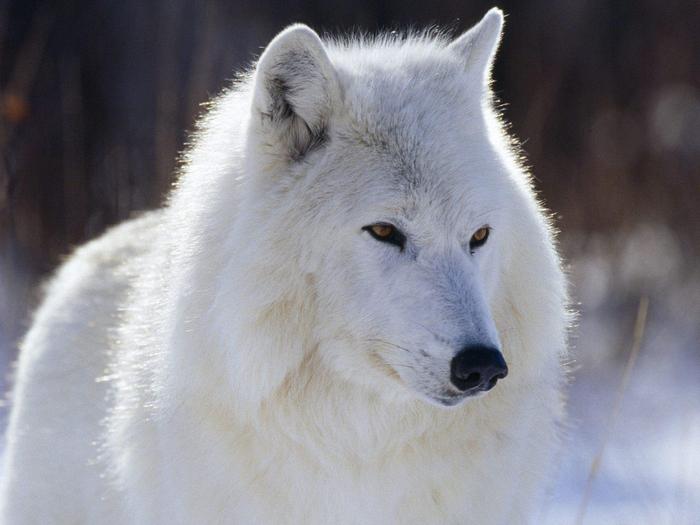 Wolfs (3) (700x525, 363Kb)