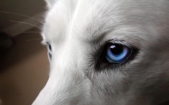 Wolfs (6) (700x437, 188Kb)