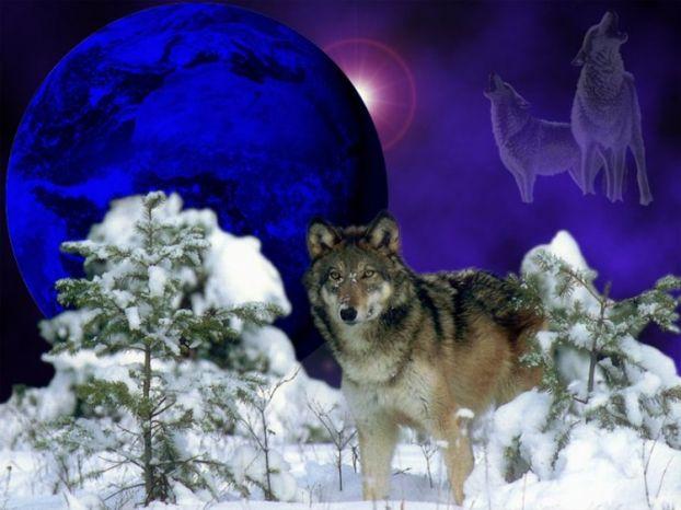 Wolfs (12) (622x466, 46Kb)