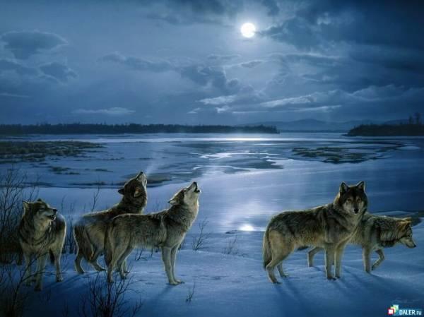 Wolfs (14) (600x449, 30Kb)