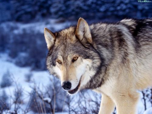 Wolfs (18) (500x375, 153Kb)