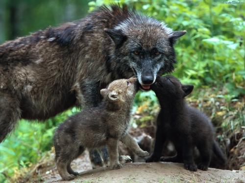Wolfs (27) (500x375, 170Kb)