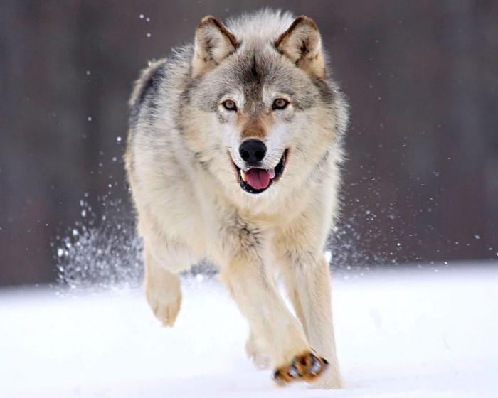 Wolfs (30) (700x560, 259Kb)