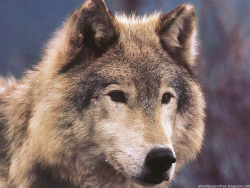 Wolfs (32) (500x375, 177Kb)