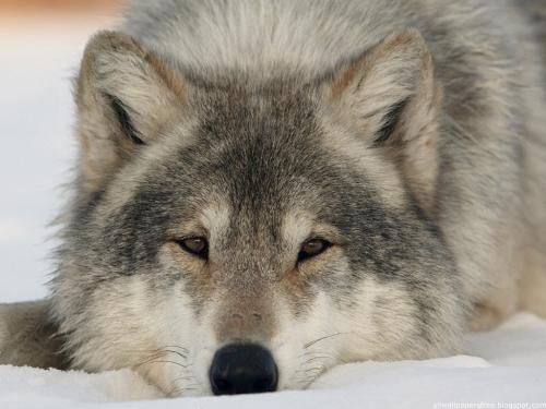 Wolfs (38) (500x375, 150Kb)