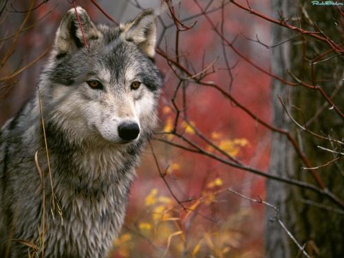 Wolfs (42) (500x375, 161Kb)