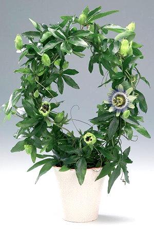 passiflora (300x447, 44Kb)
