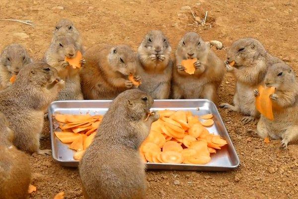сурок суслик бабак луговая собака ест морковку/3518263_sysel (600x400, 69Kb)