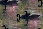 Превью лебедушки (540x368, 77Kb)