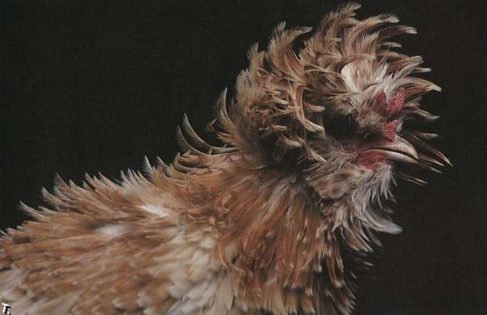 extraordinary_chickens_from_around_the_world_03 (700x452, 52Kb)