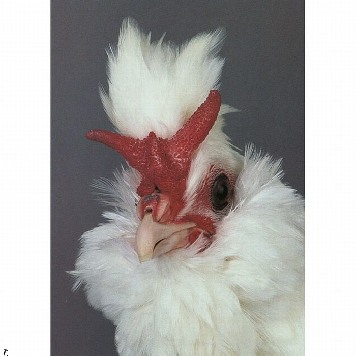 extraordinary_chickens_from_around_the_world_07 (700x700, 63Kb)