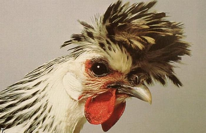 extraordinary_chickens_from_around_the_world_12 (700x452, 64Kb)