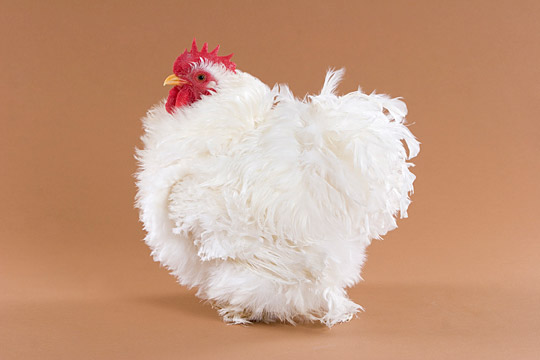 White-Frizzle-Cochin-Bantam-Rooster (540x360, 33Kb)