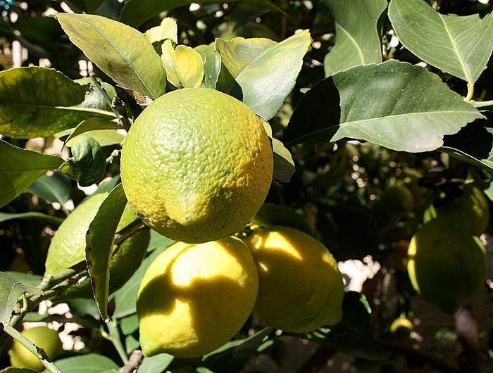 4514961_limoni (700x530, 144Kb)