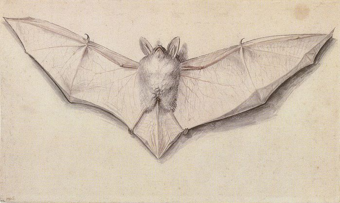 800px-Study_of_a_bat,_by_Hans_Holbein_the_Younger (700x417, 62Kb)
