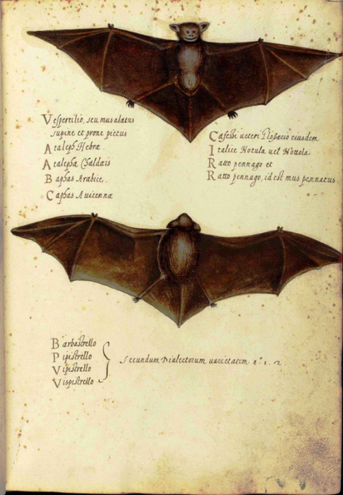 Animal-Bat-Italian-1-692x1000 (484x700, 364Kb)