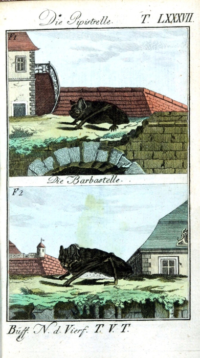 Animal-Bat-Engraving-1785-German-1 (391x700, 338Kb)