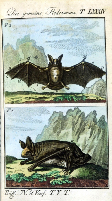 Animal-Bat-Engraving-1785-German-3 (391x700, 357Kb)