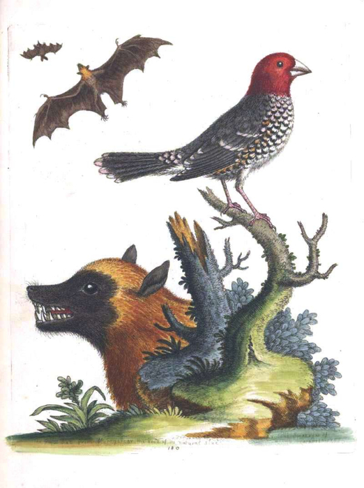 Animal-Indian-Zoology-Bat-Bat-wolf-bird-Johann-Reinhold-Forster-1790 (522x700, 245Kb)