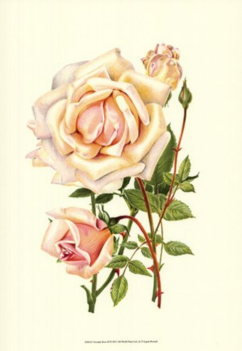 victorian-rose-iii (483x700, 208Kb)