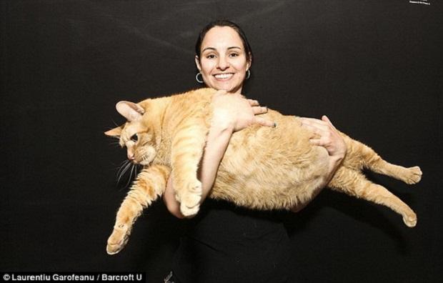 fattest-cat (620x396, 62Kb)
