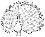 Превью drawing-dancing-peacock-2-lineart (480x393, 138Kb)