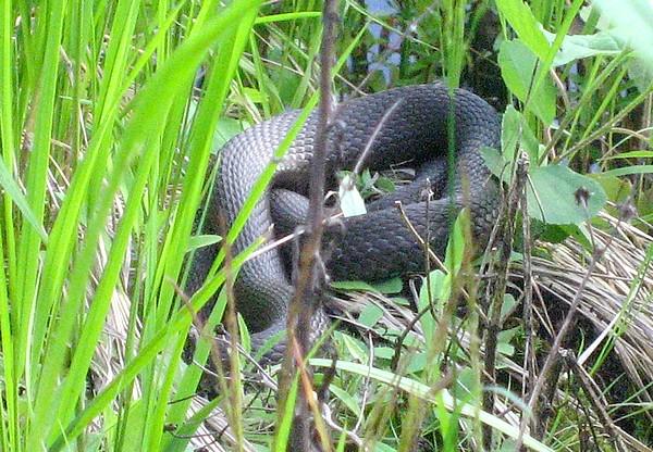 змея (600x416, 142Kb)