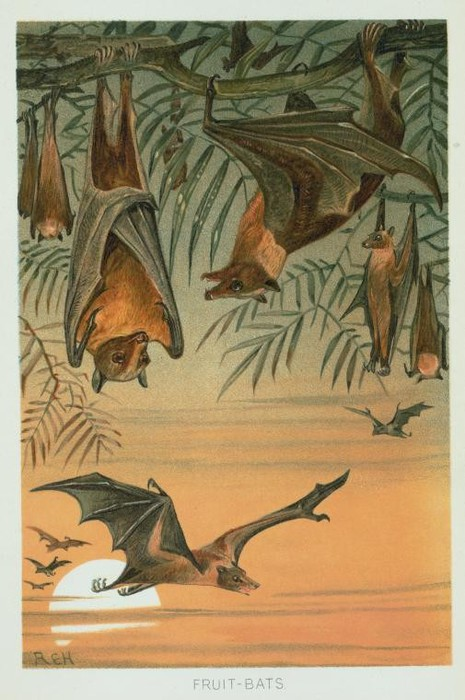 Animal-Bat-Illustration-Art-Fruit-bats (465x700, 90Kb)