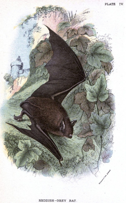 Animal-British-mammal-1896-Bat-flying-622x1000 (435x700, 320Kb)