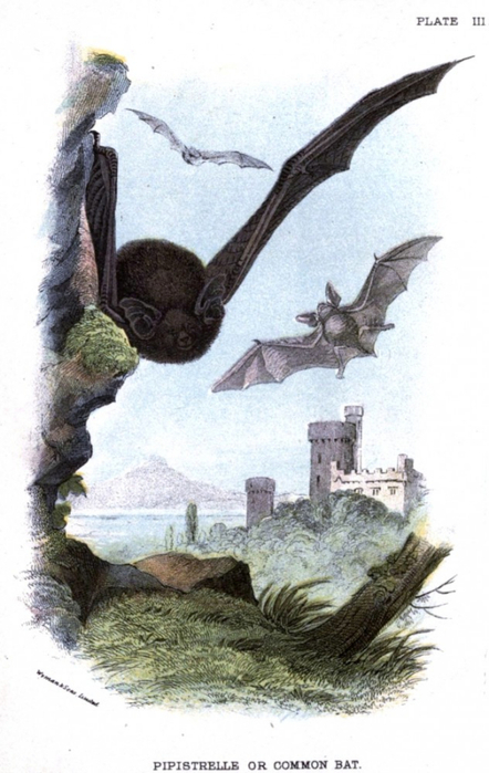 Animal-British-mammal-1896-Castle-and-bats-632x1000 (442x700, 288Kb)