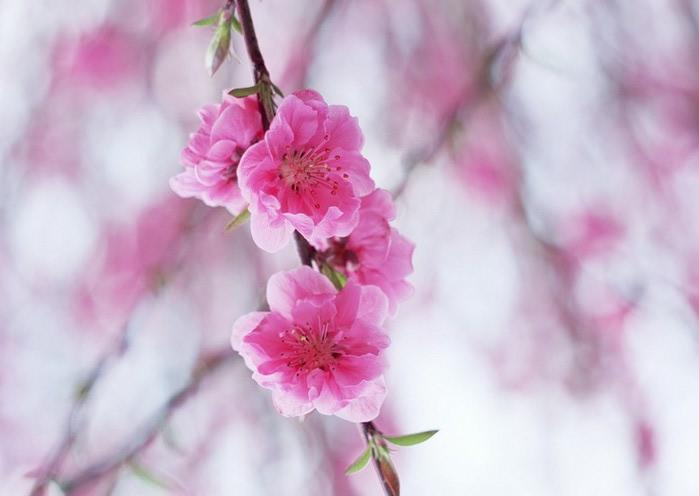 Ванильные фотографии цветов от Sozaijiten 37 (700x496, 50Kb)