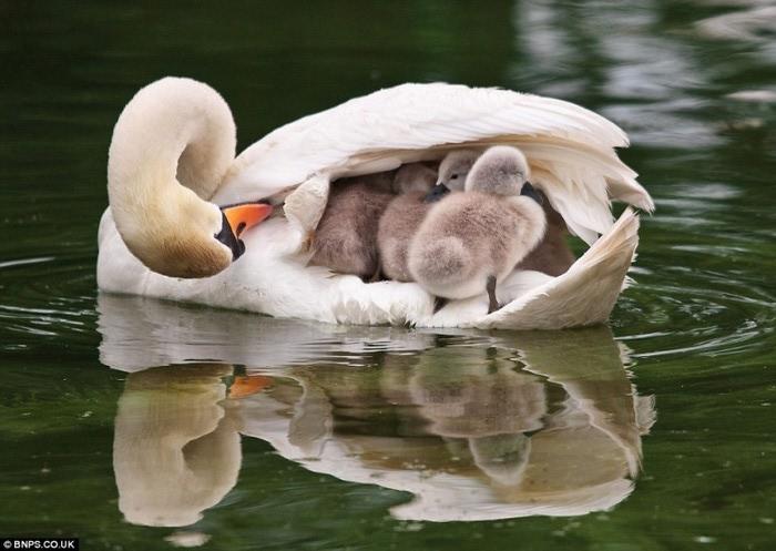 Мать и дитя - белые лебеди (700x497, 84Kb)