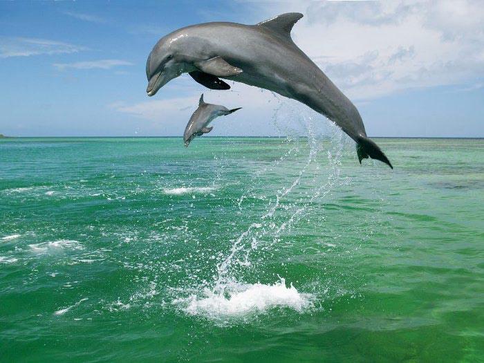 Мать и дитя - дельфины (700x525, 81Kb)