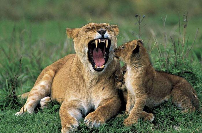 Мать и дитя - львы2 (700x461, 70Kb)
