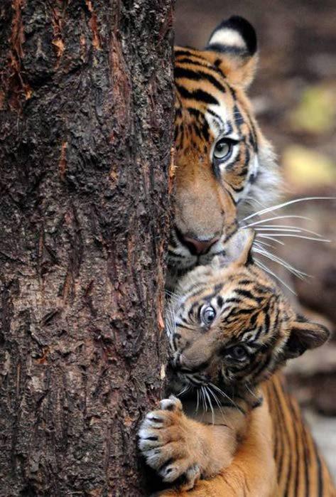 Мать и дитя - тигры (473x700, 70Kb)