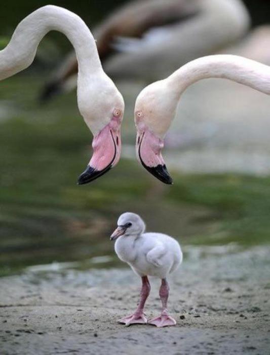 Мать и дитя -фламинго (533x700, 33Kb)