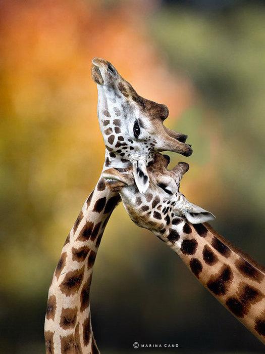 прикольные фото животных Marina Cano 2 (525x700, 72Kb)