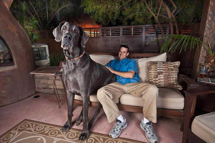 самая большая собака1 (700x465, 133Kb)