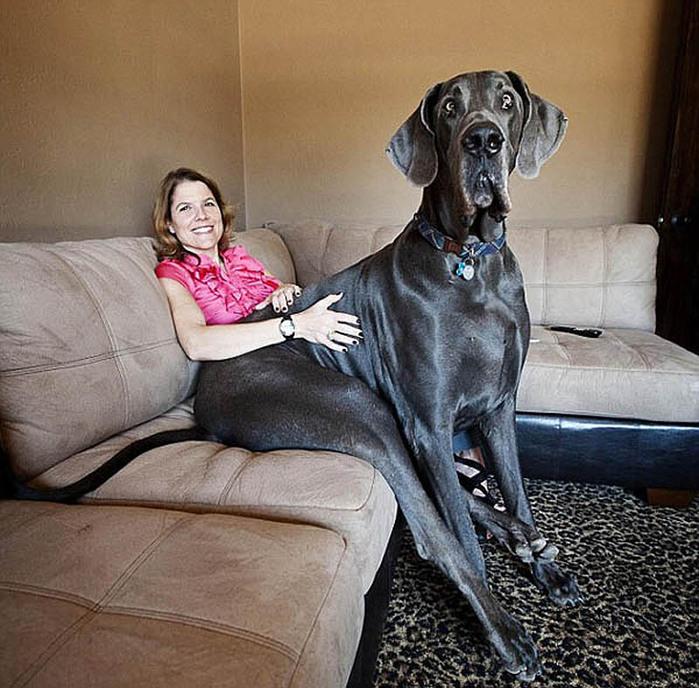 самая большая собака3 (700x688, 160Kb)